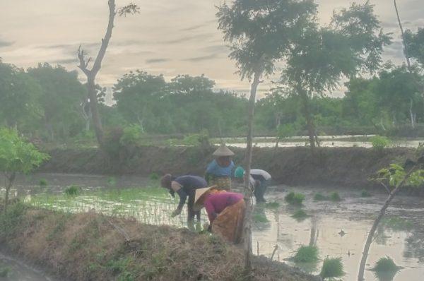 Mencatat Keluhan Petani di Tengah Pupuk Langka
