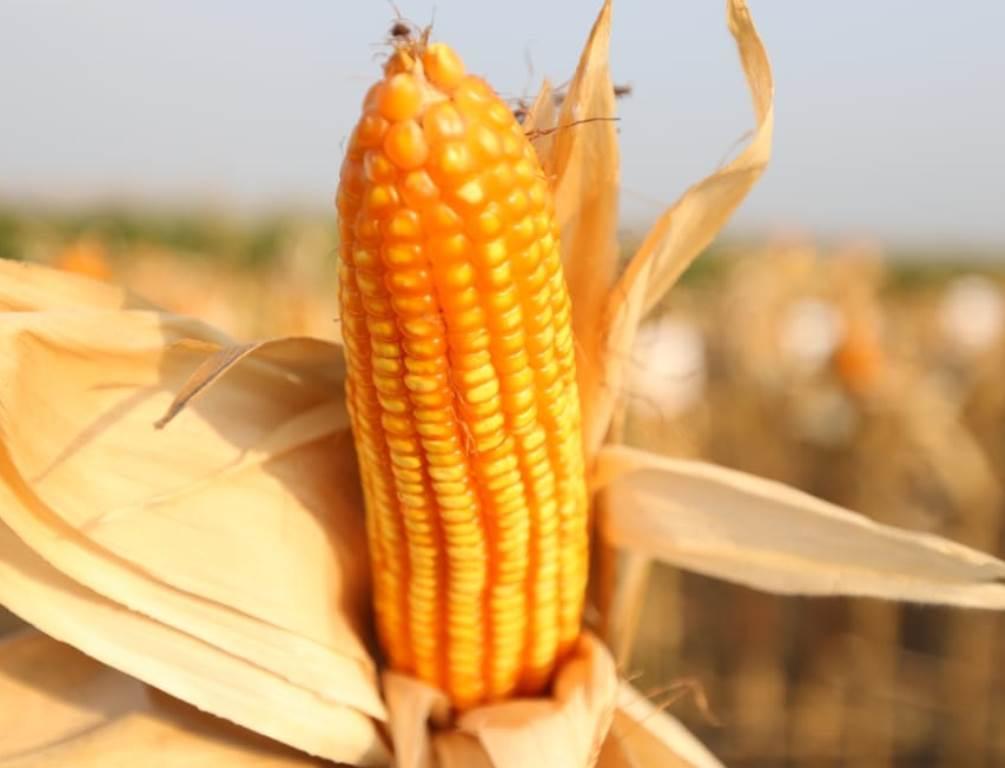 f ilustrasi jagung